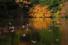 Golden (Ged Slaughter Photography) Tags: gold golden pond pool lake autumn colours dunham dunhammassey nt nationaltrust gedslaughter landscape gulls seagulls flight water waterscape reflections reflection
