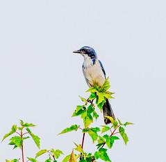 King Blue. (Omygodtom) Tags: outdoors real bokeh bird scrubjay abstract art animalplanet animal natural nature nikon nikkor blue green d7100 nikon70300mmvrlens wow bright wildlife wild scene scenic senery