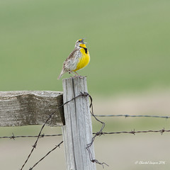 Happy Fence Friday Prairies Speciality! (Chantal Jacques Photography) Tags: westernmeadowlark prairiesstyle happyfencefriday wildandfree hff bokeh depthoffield prairiesspeciality birdscape