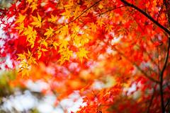Blaze of Colors (moaan) Tags: kobe hyogo japan jp autumn november autumnleaves autumncolors colorsofautumn momiji japanesemaple bokeh dof utata 2016 leica mp leicamp type240 noctilux 50mm f10 leicanoctilux50mmf10