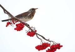 Fieldfare (jttoivonen) Tags: nature bird tree berries white outdoors animal creativecommons