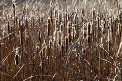 Cattails going to seed (drbensonjr) Tags: nature bakerwetlands