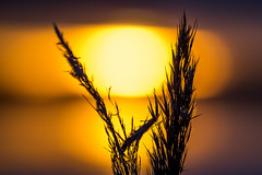 A New Day (Jens Haggren) Tags: olympus em1 sun sunrise morning sky clouds sea water reflections bokeh reed colours nacka sweden jenshaggren