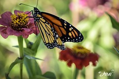 Monarch Butterfly (Steve Stambaugh Jr.) Tags: monarch butterfly nature outdoors beautiful country creation god creator amazing wonderful colorful perfect