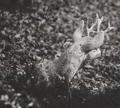Fall Buck II (Proper Photography) Tags: fall autumn 2016 november november2016 still life blackandwhite blackwhite muted stone leaves pure michigan puremichigan