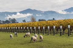 536292260 (Jacada Travel) Tags: flockofsheep livestock cloudscape copyspace fleececoat winemaking foraging sheepshearing vineyard yellow wool agriculture marlboroughnewzealand newzealand variegated grazing sheep cattle autumn mountainrange cloudsky woodenpoles rowsofgrapevine