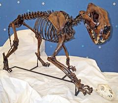 panthera atrox fossil north american lion lions cat cats fossils mammal mammals pleistocene america