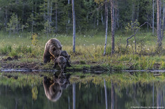 Bear cub sipping by shore lake (Francesco Magoga Photography) Tags: bear wood travel family light sunset wild summer sun lake travelling green nature beauty forest suomi finland cub europe sundown wildlife bears traveller adventure hut shore wilderness dreamlike karelia mammals nationalgeographic finlandia wildparadise francescomagoga