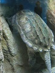 IMG_4610 (Whitebrowgigs) Tags: flowers fish animals shark turtle tiger polarbear toledozoo turtles tigers sharks polarbears orang orangutans orangs thetoledozoo