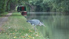 Heron Looking For Lunch (Deb Simpkins) Tags: bridge summer white black reflection green bird eye heron nature water closeup grey boat canal wings nikon legs head wildlife beak feathers bedfordshire bank ardea coolpix narrow narrowboat wading grandunioncanal greyheron 2015 cinerea linslade l810