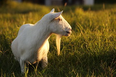 Looking at sunset (Teruhide Tomori) Tags: sunset nature grass animal japan goat amamioshima