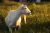 Looking at sunset (Teruhide Tomori) Tags: sunset nature grass animal japan goat amamioshima