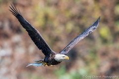 Not quite fall colors yet (greg obierek) Tags: bird nature canon eagle wildlife baldeagle maryland raptor haliaeetusleucocephalus avian birdofprey bif susquehannariver birdinflight 700mm ef500mmf4isl ef14xiii eos7dmkii