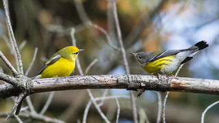 Blue-winged and Magnolia Warblers' Showdown--calm before the storm.