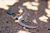 Desert Iguana shedding skin (Joshua Tree National Park) Tags: california nationalpark desert skin reptile joshuatree iguana shedding