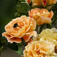 Pollinator (maureen bracewell) Tags: flowers roses summer home sunshine garden bee pollinator maureenbracewell saariysqualitypictures