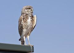 Burrowing Owl (Athene cunicularia); Los Lunas, NM [Lou Feltz] (deserttoad) Tags: newmexico bird nature desert raptor owl migration behavior wildbird