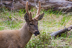 Huemul | Southern Huemul | Hippocamelus bisulcus (Far South Expeditions) Tags: huemul hippocamelusbisulcus southernhuemul