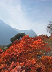 Turtmann,couleurs d'automne photo 3 (luka116) Tags: suisse paysage wallis valais 2015 cotinuscoggygria turtmann arbustre getwing