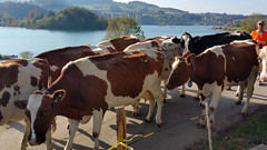 20151009_160053 (Pierre Schwaller (lyoba.ch)) Tags: suisse tradition agriculture gruyère troupeau lacdelagruyère kolly schwaller lyoba pontlaville pierreschwaller lyobach