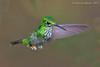 Booted Racket-tail - Female (Ocreatus underwoodii) (Jeluba) Tags: bird peru nature horizontal canon inflight wildlife aves ornithology birdwatching oiseau pérou 2015 neotropical bootedrackettail ocreatusunderwoodii grünscheitelflaggensylphe hautdechaussesàpalettes