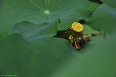 Hoa sen (Ct ng) Tags: summer flower lotus l   sen hoa       hoasen bng mah bngsen lsen