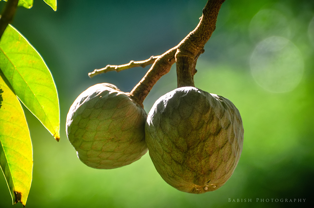 The World's Best Photos of annona - Flickr Hive Mind Soursop Tree In Kerala