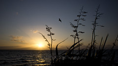 Flaxen Flight (ArdieBeaPhotography) Tags: ocean flowers sea sky sun bird beach silhouette yellow set thames night clouds reflecting golden evening coast flying waves gulf dusk seagull gull seeds shore bent soaring breeze pods flax firth harakeke hauraki tikapa