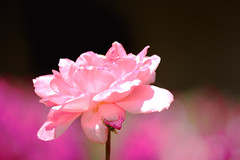 The Pink Rose (Sudhakar Madala) Tags: pink flowers flower nature floral beautiful rose canon flora flickr bokeh 600d flowerlovers flowersarebeautiful flowermagic