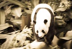 Panda (saish746) Tags: china california bear white black cute green nature animal canon giant mammal zoo is log panda fuzzy outdoor centre conservation national malaysia kualalumpur usm kl xing pandas negara ef70200mm f4l