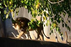 DSC_1228 (gobucks2) Tags: zoo lions wildanimals 2015 louisvillezoo november2015 louisvillekentuckyzoo fall2015