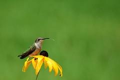 Tasting The Rain (Robert F. Carter Travels) Tags: archilochuscolubris hummingbird rubythroatedhummingbird bird birds rain michigan goldsturm rudbeckiagoldsturm blackeyedsusan blackeyedsusans coneflower coneflowers