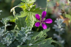 Petals (Jim Kazujo) Tags: purple flower petals five green plants dublinzoo october macro 100mm28macro
