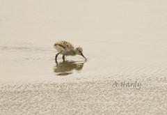avocet chick feeding (spicspics) Tags: blakandwhite birds chicks reflaction avocets