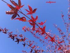rosso su blu (archgionni) Tags: blue red sky plant tree nature leaves natura cielo rosso azzurro totalphoto