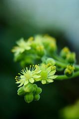 Aeonium canariense (mellting) Tags: plant flower nikon flickr sweden stockholm sverige platser aeonium bergianska extensiontube nikkor5018 500px bergiusbotanicgarden bloggad aeoniumcanariense nikond7000 mellting instagram matsellting andrastäder