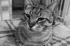 Gattone bianco e nero (IlGiomba) Tags: cats fusa gattini animalidacompagnia