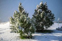 Joyeux Noël (- Ali Rankouhi) Tags: christmas tree pine weihnachten iran tehran noël ایران ميلاد joyeux عيد درخت تهران 2016 زمستان 2015 1394 fröhliche مجيد کاج