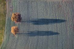 Oaks In Autumn (Aerial Photography) Tags: by la ndb 14112016 5sr22198 abendlicht baum bume eiche fotoklausleidorfwwwleidorfde herbst landschaft laubbaum luftaufnahme luftbild schatten stimmung unterfroschham vilsheim aerial autumn deciduoustree foliagetree landscape leaftree mood oak outdoor shadow tree trees
