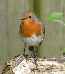 Robin (Mary (No Group Invites Please)) Tags: garden bird robin