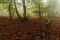 Niebla en el bosque (Alfredo.Ruiz) Tags: canon eos6d samyang 14mm bosque niebla entzia alava haya hayedo