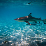 Blacktip shark wiht friends thumbnail