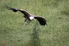 Flying vulture (Cloudtail the Snow Leopard) Tags: gnsegeier wildpark bad mergentheim tier animal vogel bird griffon vulture geier gyps fulvus flug fliegen fly flying cloudtailthesnowleopard