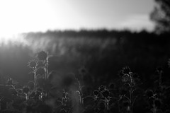 Mehrere Sonnen.. | ..Several Suns (Sorgenfred) Tags: abend acre evening feld field flares gelb green grn inbetween landscape landschaft licht light mist mittendrin mood nature schatten shadows silence sonnenschein sonnenstrahlen sonnenuntergang stille stimmung sundown sunflowers sunshine yellow