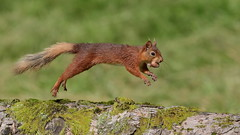 Scoot with the loot (Hammerchewer) Tags: redsquirrel squirrel wildlife outdoor