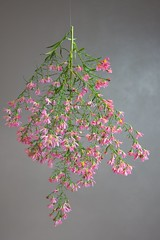 Suspended Aster Blooms (The Good Brat) Tags: co us garden aster autumn fall stilllife suspended hung fishingline flowers blooms pink pastel