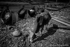 2014_12_02_Reshad Kamal_9982.jpg (Reshad Kamal) Tags: bandarban bangladeshiphotographer boat chittagong chittagonghilltracks colorphotographer colorphotography cow daylight documentaryphotographer documentaryphotography domesticanimal outdoor reshadkamal reshadkamalphotography reshadkamaldotcom river riverbank sanguriver streetphotographer streetphotography travelphotographer travelphotography