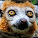 Vampire Lemur