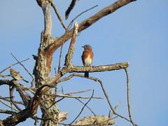 DSCN1721 Eastern Bluebird (Dodge Rock) Tags: bluebird