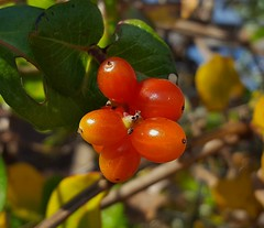 Coral Honeysuckle Berries 2016 (matthewbeziat) Tags: lonicerasempervirens usfws nationalwildliferefugesystem nationalwildliferefuge patuxentresearchrefuge patuxentresearchrefugenorthtract honeysuckle coralhoneysuckle honeysuckleberries annearundelcounty maryland wildberries